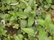 Different varieties of mint grow by the back door