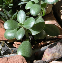 Specimen of a jade plant on the rocks