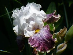 Purple white and yellow iris