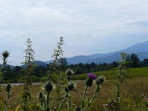 Vermont mountains and thistle