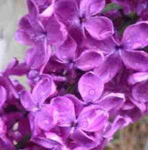 Lilacia