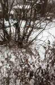 snowyfigtree