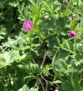 wildflowerssweetpea