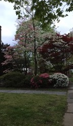 Photo of pink and white azalea shrubs under a white dogwood.