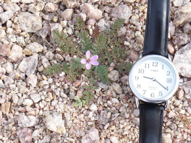 Timex watch next to a tiny flowering plant on a pebble planting bed.