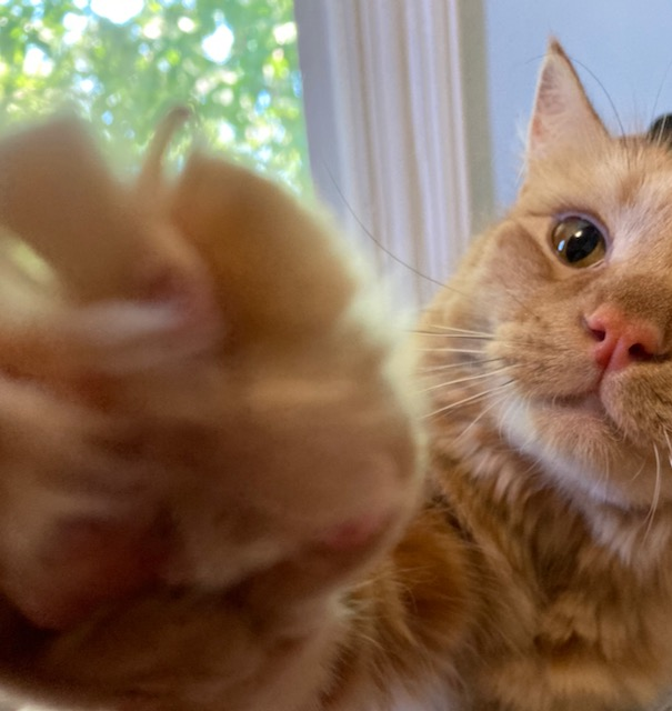 Orange cat with paw almost obscuring the lens of the camera. White and black whiskers, pink nose, amber eyes.