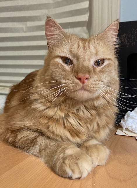 Photo of an orange cat with stripes and big paws. He is looking directly at the viewer with big amber eyes. He is sitting on a table in front of a window with a paper shade.