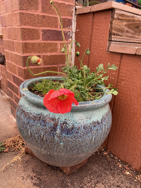 Photograph of a red poppy blooming. It is very large, and is planted in a large pot with blue slip decoration. Brown bricks and wooden stairs in background.